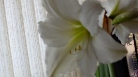 An Easter Lily - So lovely