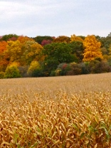 The fields of wheat before harvest last year