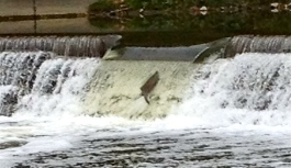 An afternoon spent watching the salmon struggle to get up river, last fall. It was an incredible thing to see their determination and relentless effort.