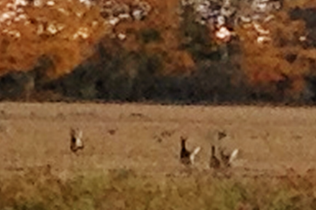 5 deer as they took flight noticing that we noticed them. Taken with my phone, but not a bad shot.