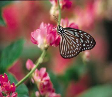 Pink_Butterfly-369x319
